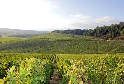 Chablis Weinberge in Frankreich